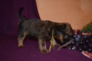 щенок брюссельского гриффона