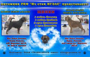 грифоны-брабансоны щенки