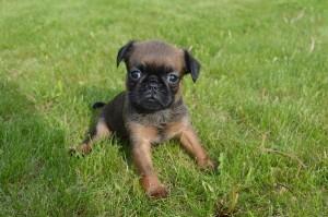 продам щенка брабансона