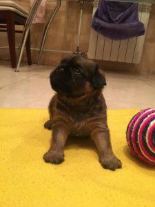 гриффон рыжий щенок