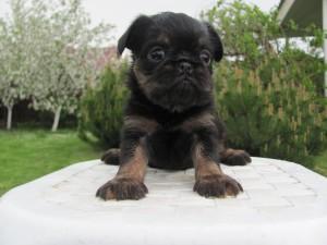щенок бельгийского гриффона