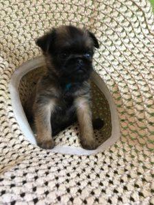 купить щенка грифона из питомника