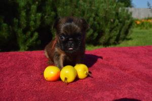 купить щенка грифона рыжего