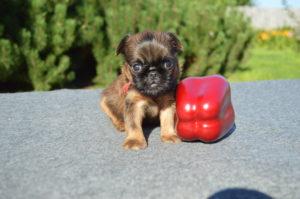 купить щенка грифона мини в москве