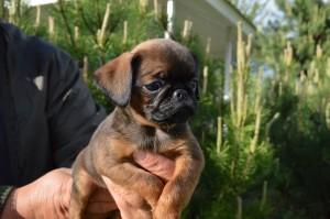 щенок брабансона