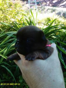 купить щенка брабансона