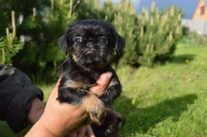 бельгийский гриффон щенок