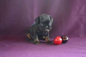 купить щенка брабансона в москве