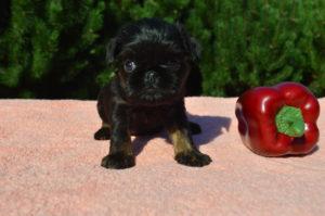 купить щенка черного грифона