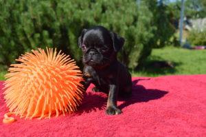 купить щенка брабансона недорого
