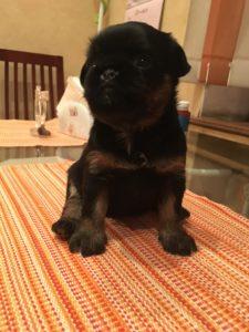 гриффон черный щенок