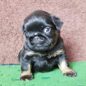 купить щенка черного грифона из питомника