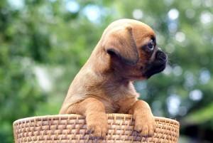брабансон щенок
