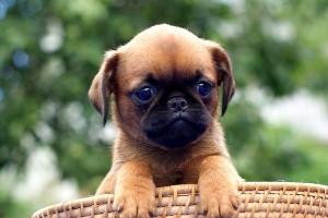 щенок брабансона фото
