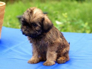 фото щенка гриффона