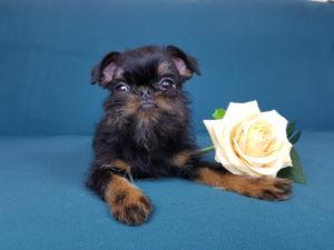 купить щенка бельгийского грифона из питомника