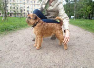 брюссельский гриффон щенки
