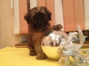 купить щенка брюссельского грифона