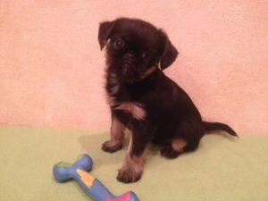 грифон черно-подпалый щенок