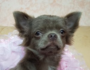купить щенка лилового окраса из питомника