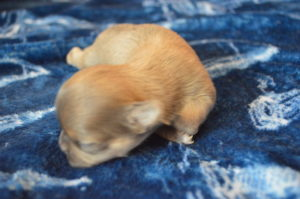 купить щенка лилового чихуа