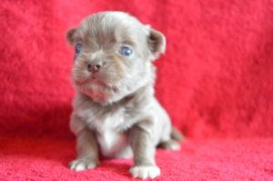 купить щенка лилового чихуа в москве