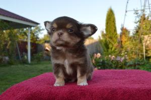 щенок шоколадного чихуа
