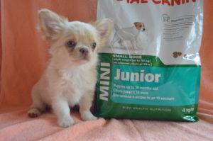 купить щенка чихуа недорого