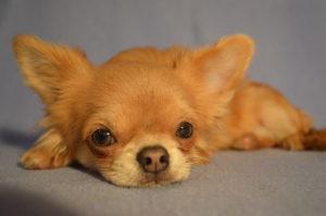 купить щенка чихуа из питомника в москве