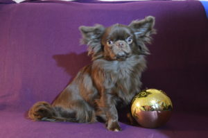 девочка чихуа шоколадного окраса