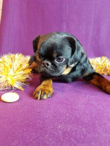 купить щенка брабансона из питомника
